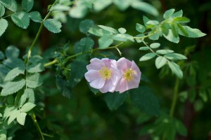 Rosa laxa microcarpa(ロサ・ラクサ・ミクロカルパ)