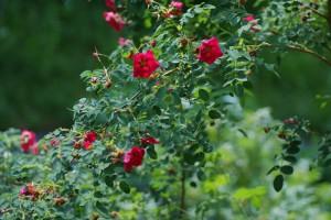 Rosa moyesii'Geranium',ロサ・モエシー・ゼラニューム