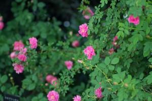 Rosa californica plena(ロサ・カリフォルニカ・プレナ)