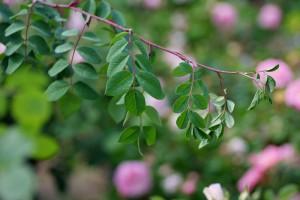 Rosa macrophylla rubricaulis(ロサ・マクロフィラ・ルブリカウリス)