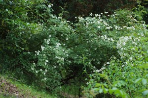 Rosa brunonii(ロサ・ブルノニー)
