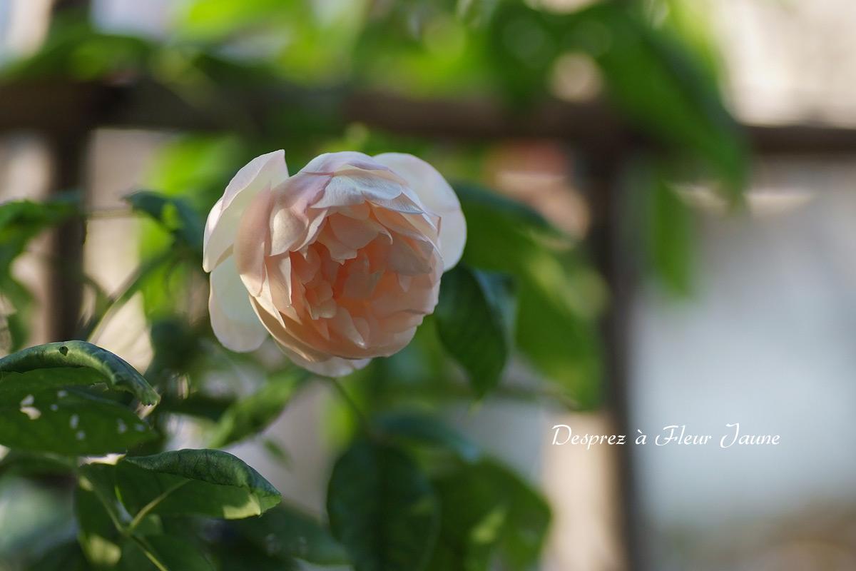 14_1028_0759Desprez_a_Fleur