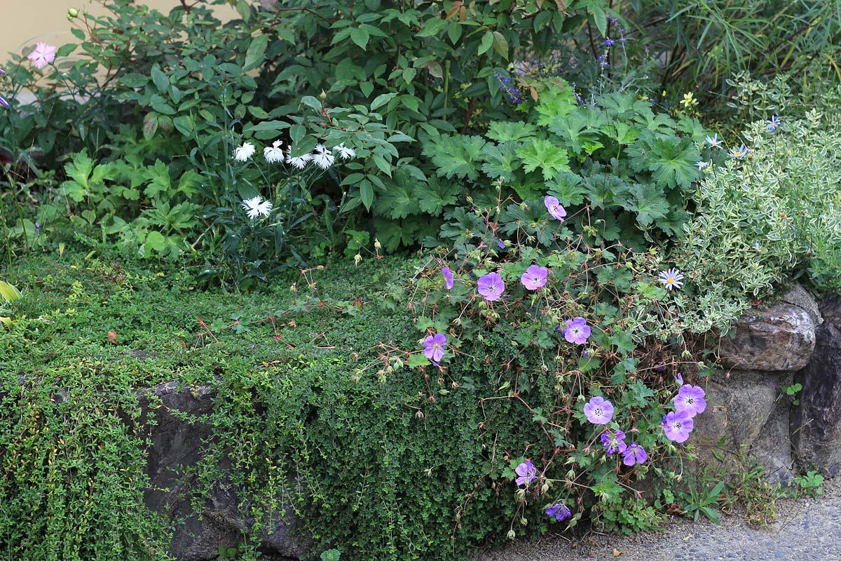 バラと宿根草